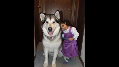 Alaskan Malamute with toddler and kids