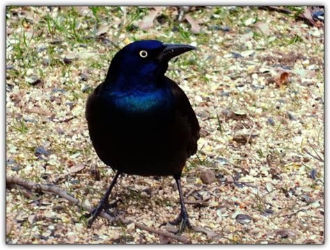 Grackle (With images) | Grackle, Places to go, Pictures