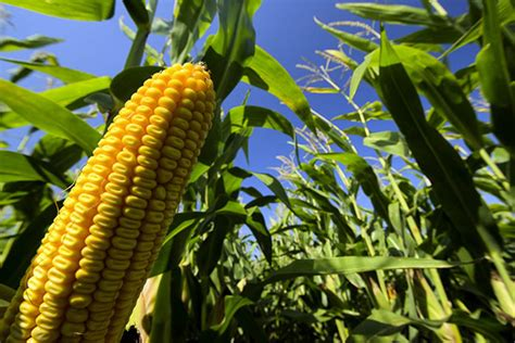 Stanford research shows corn yields more vulnerable to hot