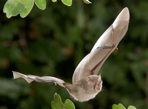 Our Irish bats - Learn About Bats