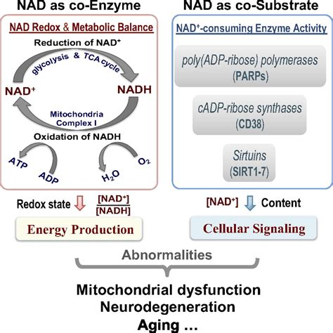 In vivo NAD assay reveals the intracellular NAD contents