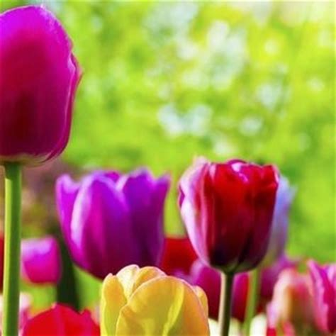 Spring Rainbow Color Tulips Flowers Facebook Cover - Nature