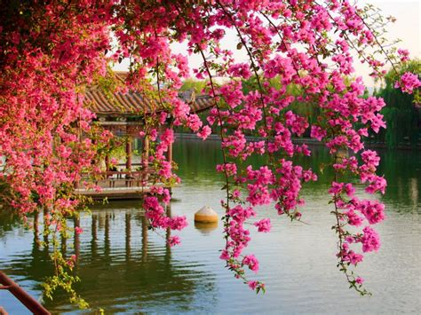 Pink Spring Flowers In The Park Chinese Kunming China Hd